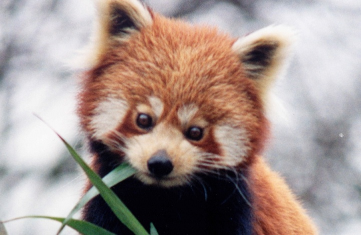 Pandas Born Cute Small And Endangered The Red Panda Ashland Vertebrate Biology Ashland Vertebrate Biology Cute Small And Endangered