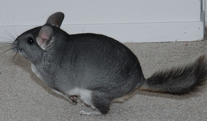 Long-Tailed Chinchilla - Mammal, Red List of Endangered Species ...