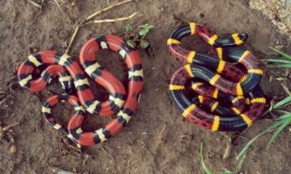 compare and contrast coral vs milk The uf herpetology division's online guide to fl snakes: comparison of  eastern coral snake, scarlet kingsnake, and scarlet snake.