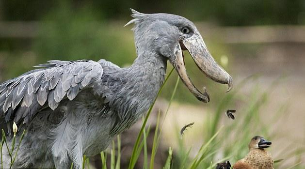 [Image: shoebill-duck2.jpg]